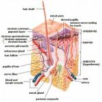 Skin Epidermus